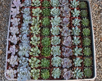 "25 ROSETTE Only Wedding Succulent collection potted in 2"" containers collection of Beautiful WEDDING FAVOR Succulents Gifts~"