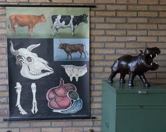Vintage Pull down School Chart  Cow   Jung Koch Quentell