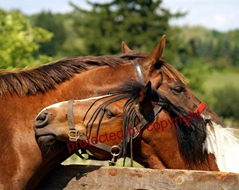 Horse photograph, Horsey Love, wall art, home decor, friendship, gift 20, chestnut brown, animal horse lovers gift