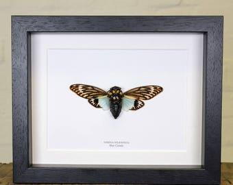 Blue Cicada in Box Frame (Tosena Splendida)