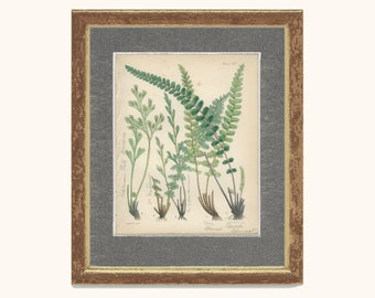 Rue Leaved Spleenwort, Reproduction Antique Botanical Fern Print 13, 1851, British Natural History, Fitch, Hand Colored (coloured)