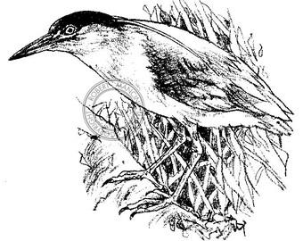 Nankeen Night Heron pencil drawing - bird art, wildlife art - nature print of original artwork