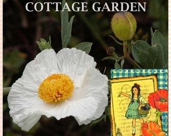 "VikkiVines~""Poppy Of Peace"" POPPY PERSIAN WHITE ~ Papaver Somniferum ~ Edible ~ Cottage Garden Favorite ~ Average seed count 50! CVGG60"