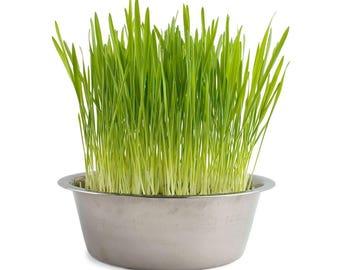 Cat grass - Hard Red Wheatgrass Seeds - 3 ounces