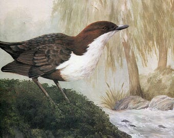 """Dipper """"Buy one, choose another free"""" wildlife, animal prints, bird prints, wildlife prints, animals, birds"""