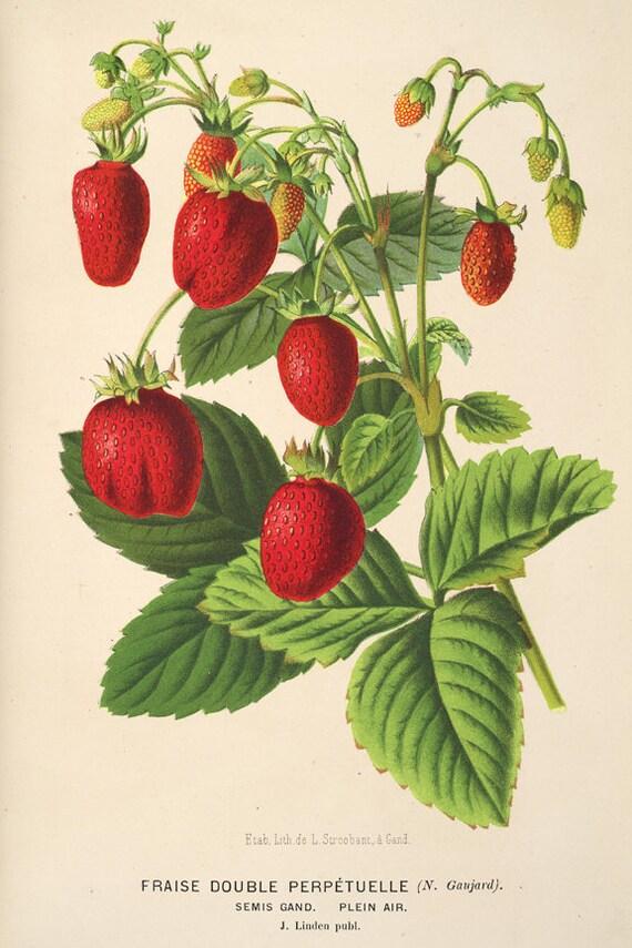 Jahrgang Erdbeere Druck Beere botanischen Druck Illustrationen