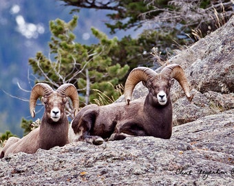 Big Horn Rams resting in Beartooth Mountains, Original Fine Art Photography