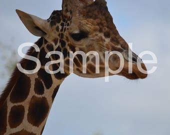 Giraffe 8x10 Photograph