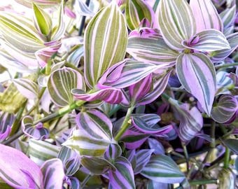 Wandering Jew Lilac - Tradescantia Fluminensis - Rare starter house plant