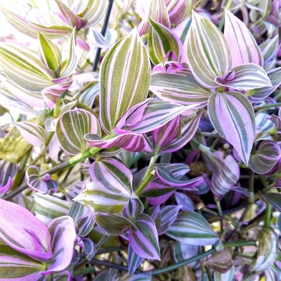 Wandering jew lilac tradescantia fluminensis rare starter - Wandering jew plant name ...
