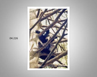 04.226 Black Bear Limited Edition, Signed and Numbered, 11x14 Matted Images (white mat)