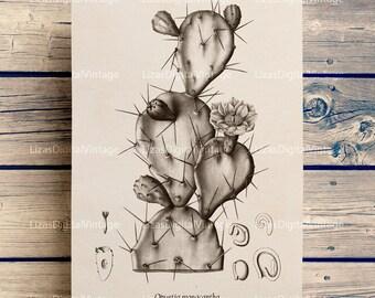 Digital art, Illustration, Art print, Wall art vintage, Antique cactus print, Vintage botanical print, Cactus print, Printable print PNG JPG