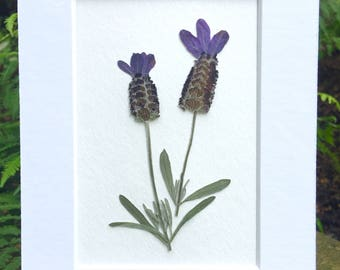 Real Pressed Flower Art Botanical Herbarium of Spanish Lavender 5x7