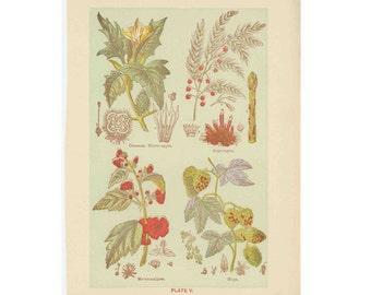 C. 1906 MEDICINAL PLANT PRINT - lithograph original antique botanical flower print- thorn apple asparagus marshmallow and hops