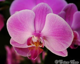 Flower Photography, radiant orchid wall art, floral home decor, orchid lover gift, 5x7 8x10 11x14 fine art print
