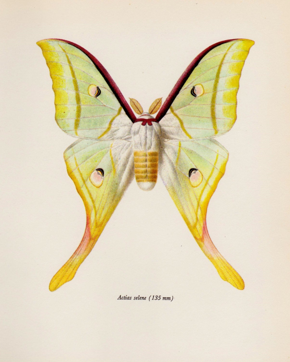 Vintage MOTH Print Indian Moon Moth Art Gallery Wall Art Home