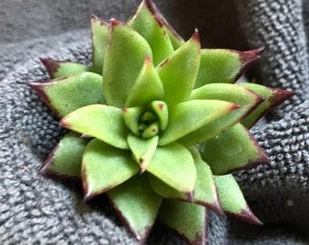 Unique-Rare Echeveria Succulent Cutting