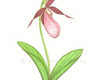"Pink Wildflower Print from Original Lady's Slipper Orchid Botanical Illustration, Green and Pink Flower Art Giclee Print  11"" X 8.5"""