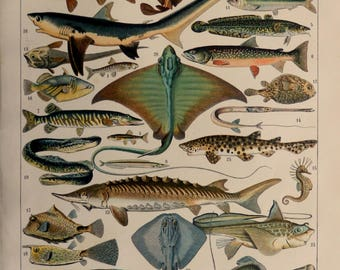 """Antique Fish print.1898 chromolithograph 116 years old print.Dimension:12,1x9"""",31x23cm.Antique French book plate.Vintage fishes engraving."""