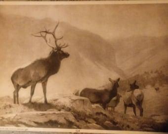 Art work by Carl rungius 1906