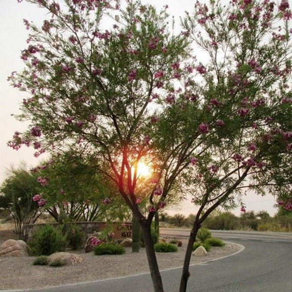 Desert willow tree seeds chilopsis linearis 30seeds mightylinksfo Images