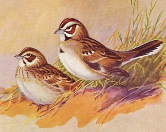 Sparrows Allan Brooks 1955 Mid Century Print Wild Bird Lithograph Natural History Illustration To Frame