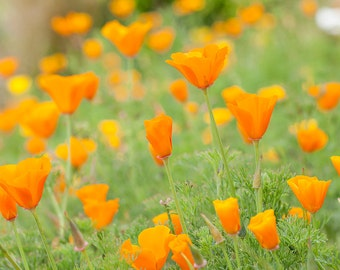 Orange California Poppies, Floral Wall Art, California art, Flower Photography, Poppy Flowers