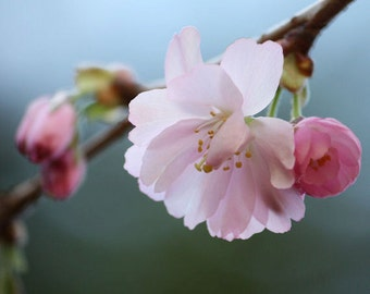 Bashful - Fine Art Nature Photograph - Pink Cherry Blossoms - 4x6, 5x7, 8x10, 11x14, 16x20