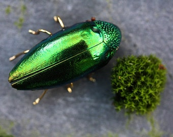 beetle brooch insect brooch insect jewelry beetle pin bug brooch animal brooch wildlife brooch, insect buttonhole, taxidermy jewelry