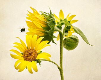 Flower Photography, Sunflowers, Bumblebee, Honey Bee, Nature Decor, Bumble Bee, Floral Wall Art, Botanical Print - Flight of the Bumblebee