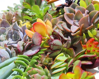 "10 assorted succulent cuttings succulent clippings plant cuttings wholesale succulent cuttings bulk succulent clippings 1-5"" length"