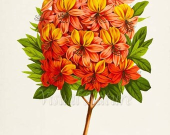 Deciduous Azaleas Flower Art Print, Botanical Art Print, Flower Wall Art, Flower Print, Floral Print, Orange Flower