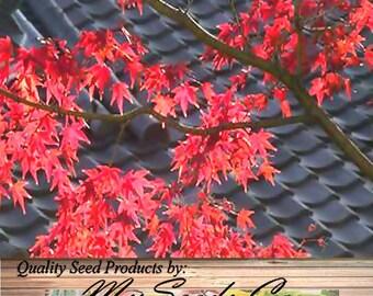 Japanese Red Maple Seeds - ACER palmatum matsumurae Atropurpureum