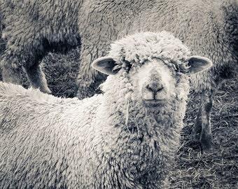 Sheep Photography, Washington, Modern, Sheep Photo, Animals, Lopez Island, Farm, Fine Art Photography Print, Black & White Modern Decor