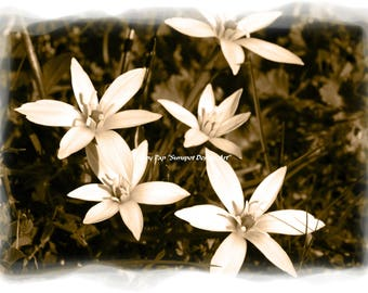 white flowers, sepia photography, sepia toned print, nature print, plant pfotograph, wild easter lilies, zephyrantes atamasca