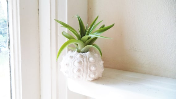 Sea Urchin Shell Planter With Air Plant | Handmade Decor Ideas For Decorating A Beach House