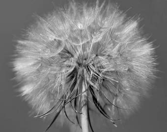 Dandelion print black and white wall art, rustic dandelion large flower photography print, shabby chic rustic farm house decor, botanical