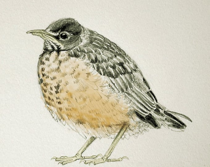 31 Baby Robin Sketch With Color Card