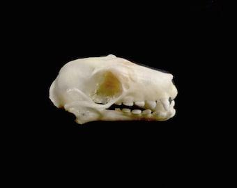 MASSIVE Real Fruit Bat Skull - Teeth, Skull, Bones Taxidermy
