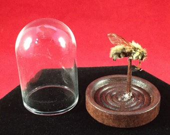 Entomology Taxidermy Anthophora Plimipes Hairy footed Flower Bee glass dome display educational specimen