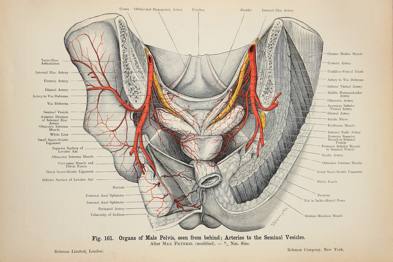 Male Pelvis Prostate Genitals Arteries Nerves Veins