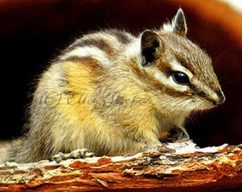 PHOTO CARD, chipmunk, chipmunk decor, Ellen Strope, castteam, wildlife, wildlife decor, cabin decor, rustic decor, nature, note cards