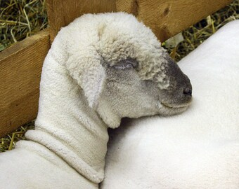 Lamb Photo - Lamb Print - 8x10 Photo, Sleeping Animal, Farm Animal, Neutral Colors, Animal Art Print, Cute Farm Animal
