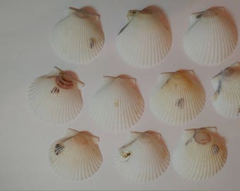 Scallop Shells - From Crystal River, FLorida - Freshly Caught by me - Shells - Seashells - White Seashells - 10 Natural Shells  #126