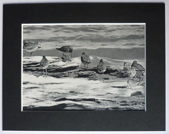 Vintage Bird Print of Redshanks, old black and white photography, vintage nature photography, can be framed, artwork print in a black mount