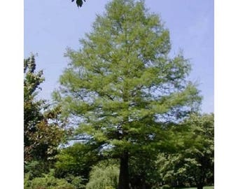 10 Common Bald Cypress Tree Seeds, Taxodium distichum, Northern