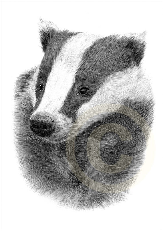 European badger pencil drawing print 2 sizes artwork