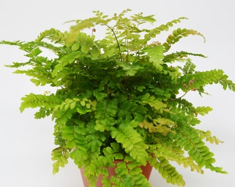 "Rosy Maidenhair Fern / 4"" Pot  / Live Plant / House Plant / FREE Care Guide"