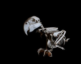 Photographic Fine Art Print of a real Mackaw skeleton - Various sizes and canvas available