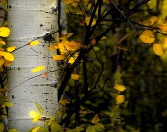 Aspen Trees, fall tree decor, aspen trees autumn, Colorado art, rustic wall art, nature, cabin decor, aspens art, fall | Deep in the Woods